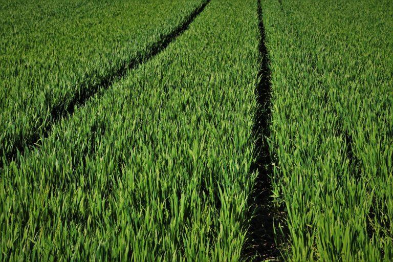 Co grozi kolbom kukurydzy?